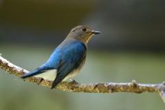 オオルリの幼鳥1