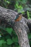カワセミの幼鳥1