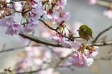 早咲きの桜の中で。