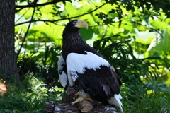 上野動物園のオオワシ2