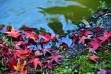 花田苑の落葉1