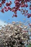 白井宿の八重桜3