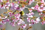 桜の中で。