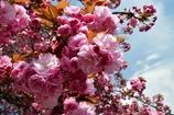 白井宿の八重桜