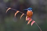 秋色のカワセミ1