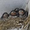 餌を待つ雛たち