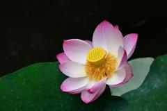 遅咲きの蓮