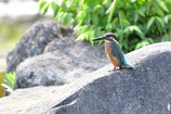 カワセミの幼鳥2