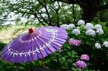 和傘とあじさい