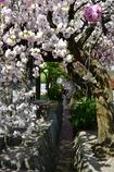 白井宿の八重桜2
