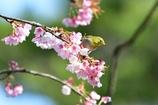 早咲きの桜の上で。2