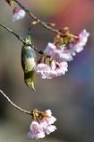 あっちの桜にしようかな。