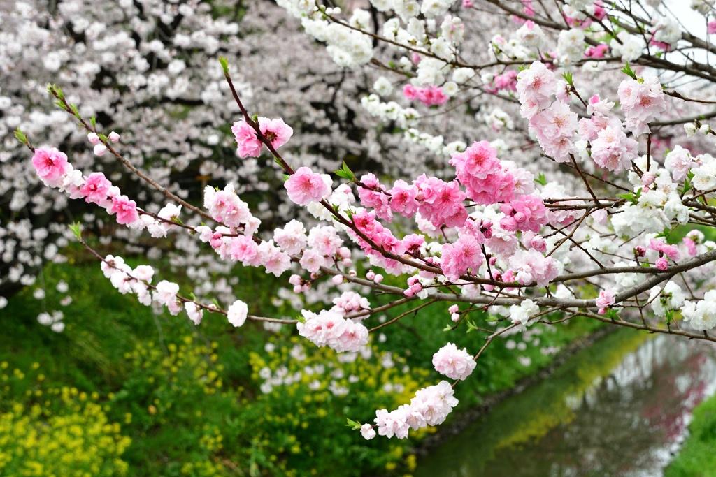 春の隼人堀川4