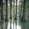 ラクウショウの池4
