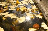 輝く落ち葉たち