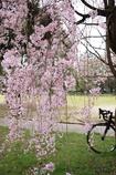 ポタリング桜散策