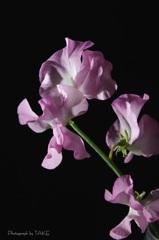 紫のスイートピー