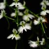 夏の花 鷺草