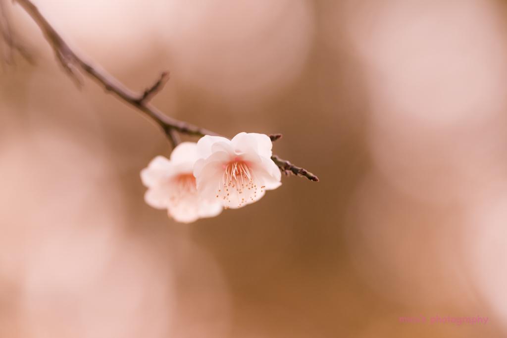 枝垂れ梅に魅せられて... no.♡♡
