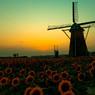 向日葵と風車