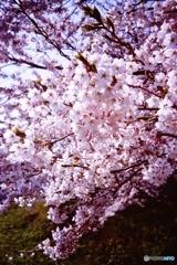 迫る桜に・・