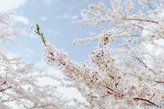 庭園桜  fine