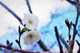 秋にも咲く桜