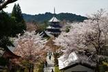 御所桜 ~吉野山~