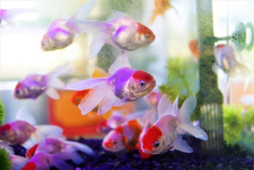 金魚 -日差しを受けて-