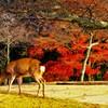 鹿も愛でる秋の奈良