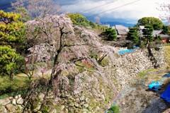 郡山城跡の桜 ~しだれ桜①~