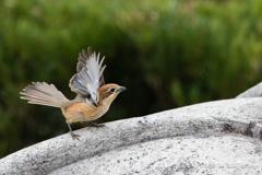 百舌鳥の舞