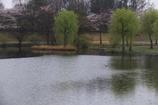 雨サクラー3
