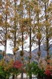 川口湖畔紅葉