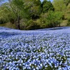 Nemophila on the small hill