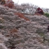四季桜と紅葉2
