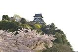 国宝犬山城と桜2