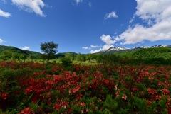 レンゲツツジのある高原