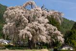 安曇野の巨木