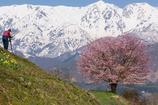 野平の桜 2