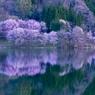 中綱湖 桜