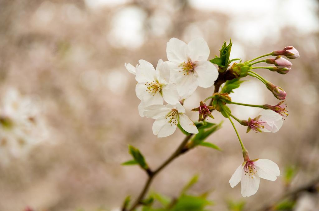 咲かせた人、咲かせようとする人