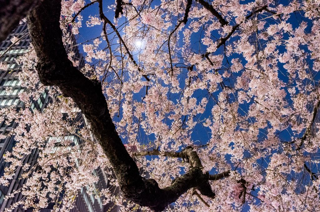 月と桜とビルと