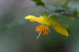 ミッキーマウスの木(花)