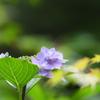 紫陽花 × モミジ