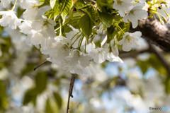 そろそろ葉桜