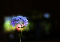 SONY DSLR-A350で撮影した(紫陽花)の写真(画像)