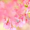 見納め河津桜