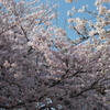 空の青さより桜のピンク