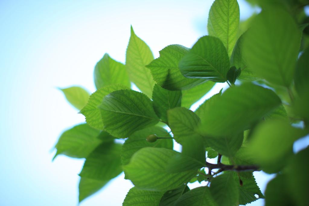 天に向かう新緑
